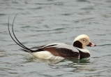 Long-Tailed Duck © Laura Meyers