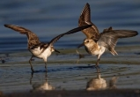 Semipalmated Sandpipers © François Portmann