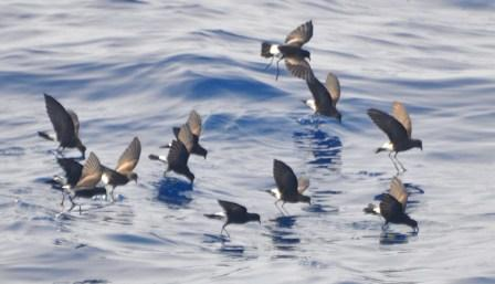 Wilson's Storm Petrels © Don Faulkner (Creative Commons Attribution License)