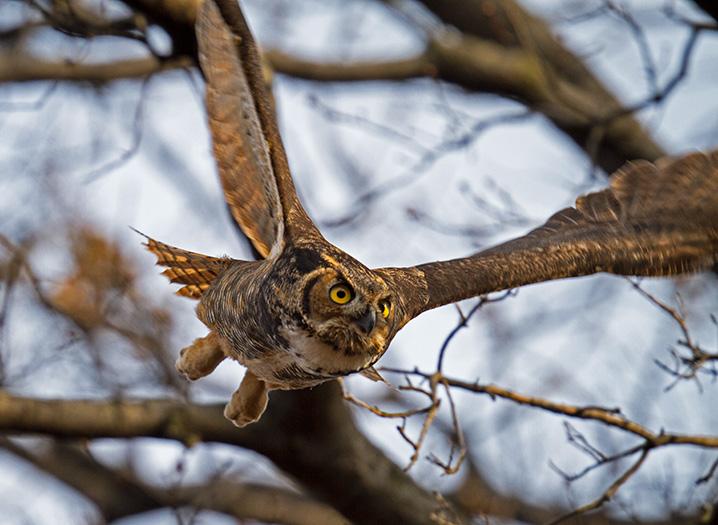 Great Horned Owl © Francois Portmann