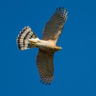 Cooper's Hawk © François Portmann