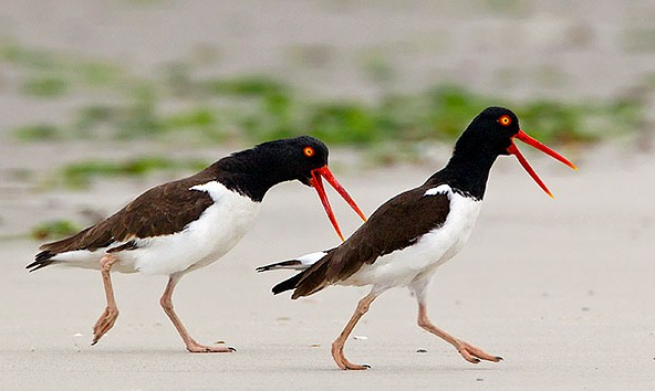 Courting American Oystercatchers © Lloyd Spitalnik