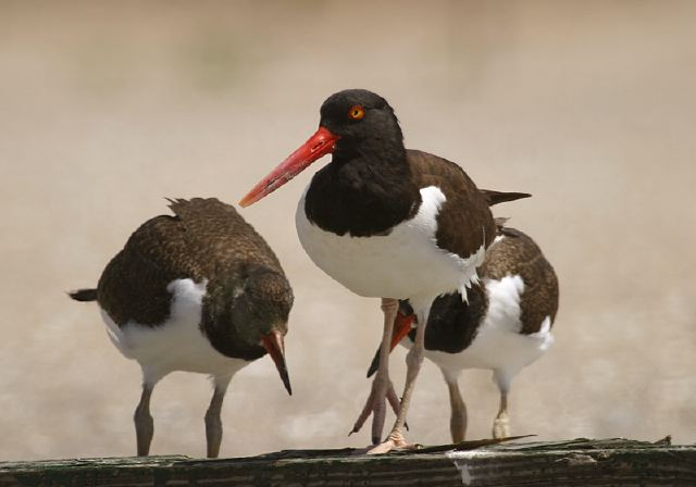 American Oystercatchers (parent with young) © Steve Nanz