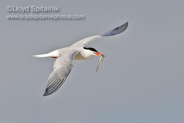 Common Terns © Lloyd Spitalnik