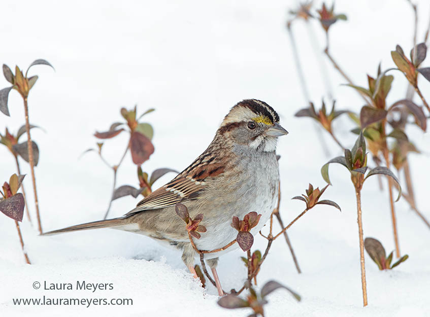 White-Throated Sparrow © Laura Meyers