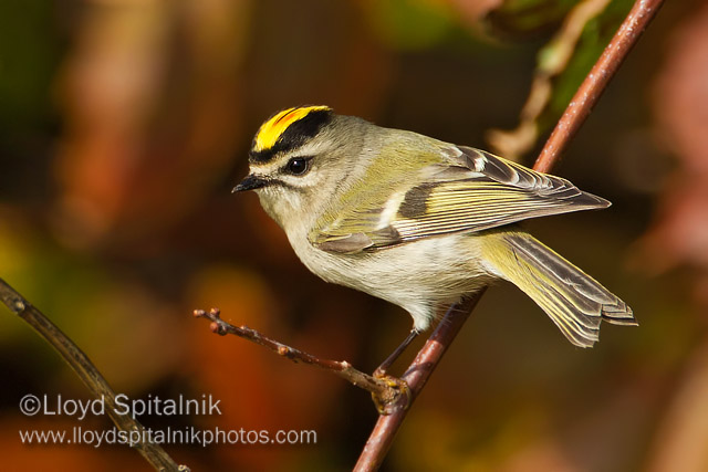 Golden-crowned Kinglet © Lloyd Spitalnik