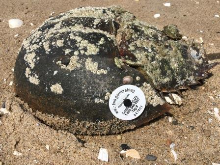 """Horseshoe Crab tagged """"341401"""""""