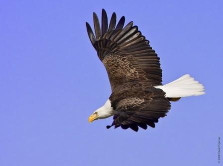 Bald Eagle, © David Speiser