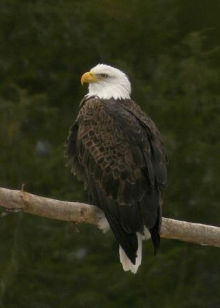 Bald Eagle © Steve Nanz