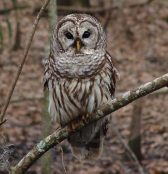 One-Barred Owl spotted during this year's bird count