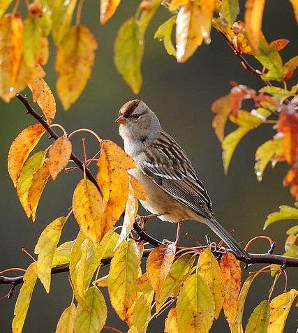 White-Crowned Sparrow © JanetandPhil (Creative Commons Attribution License)