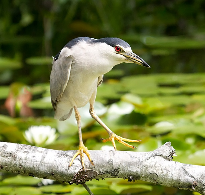 Black-crowned night-herons are a common nester on our harbor heron islands. Photo © Laura Meyers