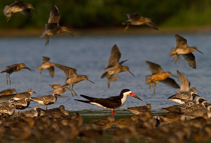 Black Skimmer, Black-Bellied Plovers, and Short-Billed Dowitchers © François Portmann