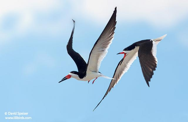 Black Skimmers,  © David Speiser