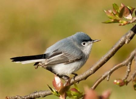 Blue-Gray Gnatcatcher © Ellen Michaels