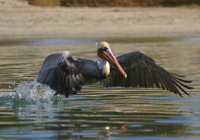 Brown Pelican © Steve Nanz