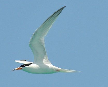 Roseate Tern © Michael J. Morel/USFWS (Creative Commons Attribution License)