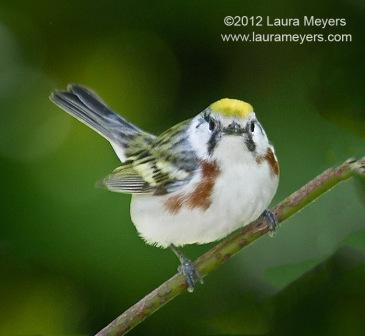 Chestnut-Sided Warbler  © Laura Meyers