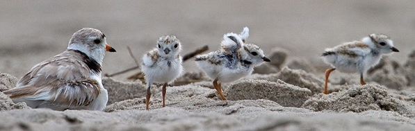 Threatened Piping Plovers Are Particularly Vulnerable to Predation by Feral Cats.  Photo © François Portmann