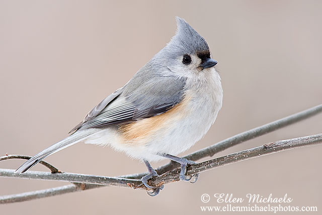 Tufted Titmouse © Ellen Michaels