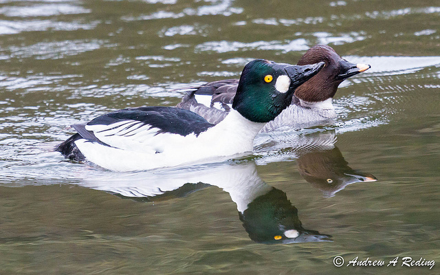 Common Goldeneye © Andrew Reding (Creative Commons Attribution License)