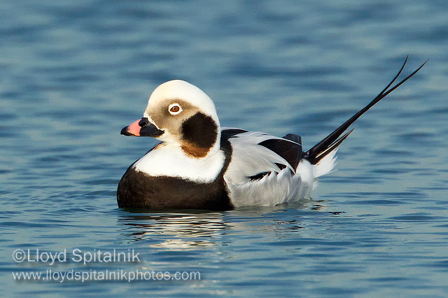 Long-tailed Duck © Lloyd Spitalnik
