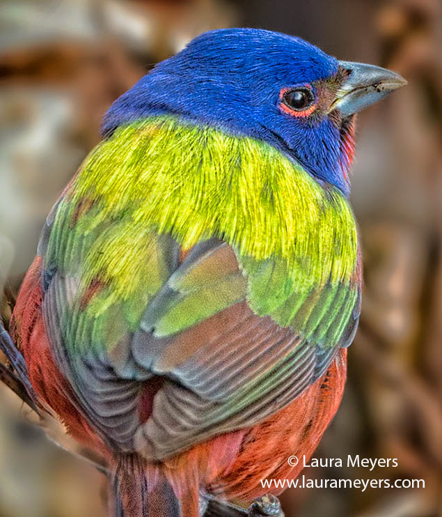 Painted Bunting © Laura Meyers