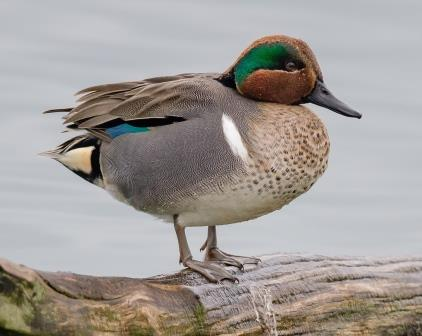 Green-Winged Teal © Jan Arendtsz (Creative Commons Attribution License)