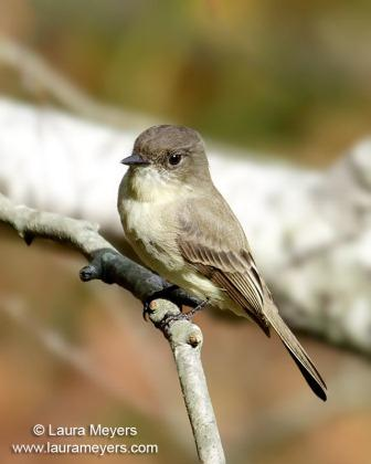 Eastern Phoebe © Laura Meyers