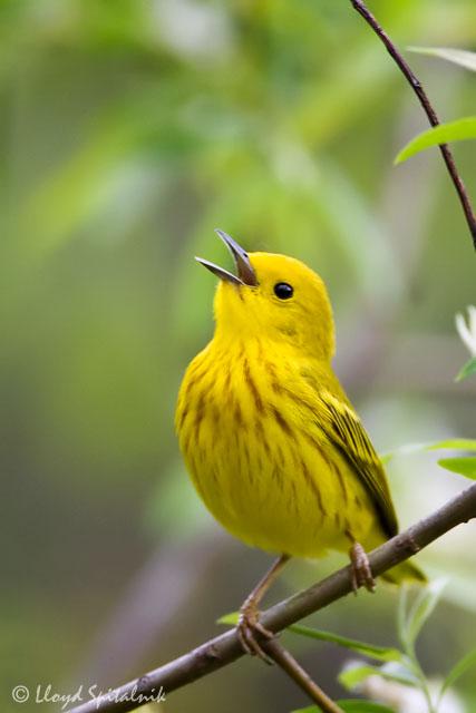 Yellow Warbler © Lloyd Spitalnik