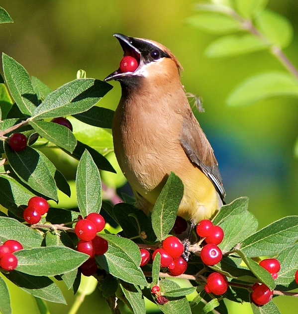 Cedar Waxwing © Henry T. McLin (Creative Commons Attribution License)