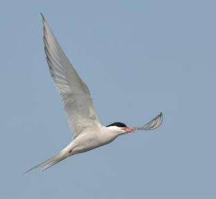 Arctic Tern © Ekaterina Papchinskaya (Creative Commons Attribution License)