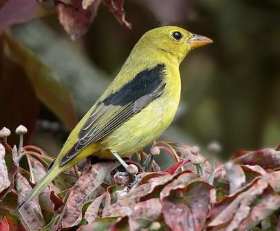Scarlet Tanager © Laura Meyers