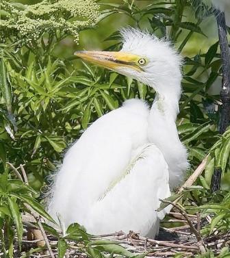Great Egret Nestling © Bill Majoros