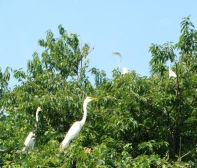Great egrets  © NYC Audubon