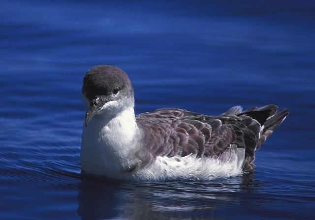 Greater Shearwater © Steve Nanz