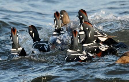Harlequin Ducks © Peter Massas (Creative Commons Attribution License)