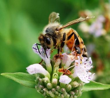Honey Bee  © Penn State