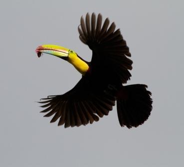 Keel-Billed Toucan © Brian Gratwicke*