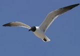 Laughing gull © Steve Nanz
