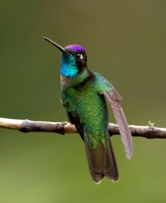 Magnificent Hummingbird © Laura Gooch (Flickr Creative Commons License)