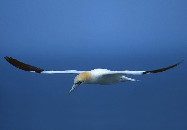 Northern Gannet © Steve Nanz