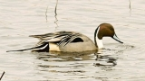 Northern Pintail © Laura Meyers