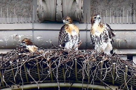 Pale Male's Brood, Spring 2013 © Bruce Yolton