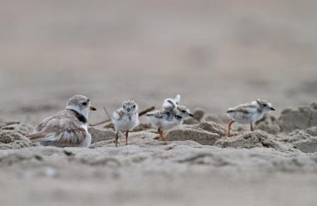Piping Plovers at Breezy Point, © François Portmann