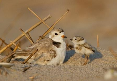Piping plover adult and chick © François Portmann