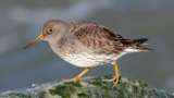 Purple Sandpiper © Ellen and Tony / This Is for the Birds (Creative Commons Attribution License)
