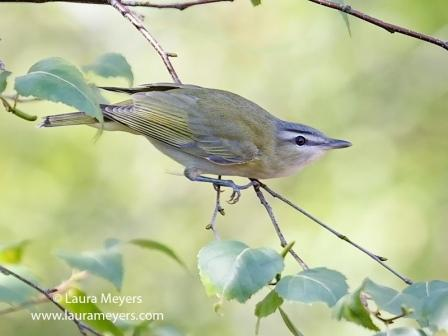 Red_Eyed Vireo © Laura Meyers