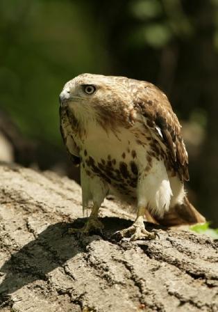 Red-Tailed Hawk  © Steve Nanz