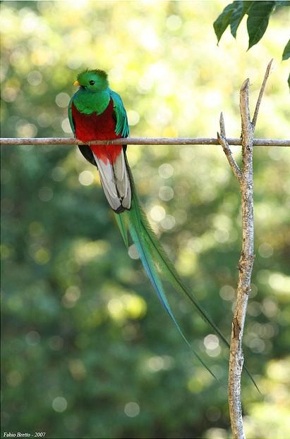 Resplendent Quetzal © Fabio Bretto*